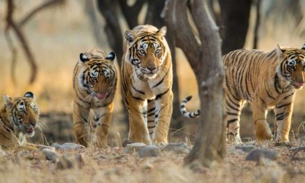 The situation of our Tigers on World Tiger Day