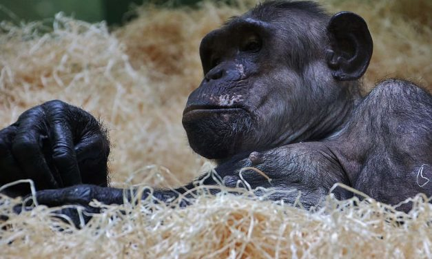 Woman Banned from Zoo For Having 'Affair' with Chimpanzee, 'Modern Love' Gets New Meaning