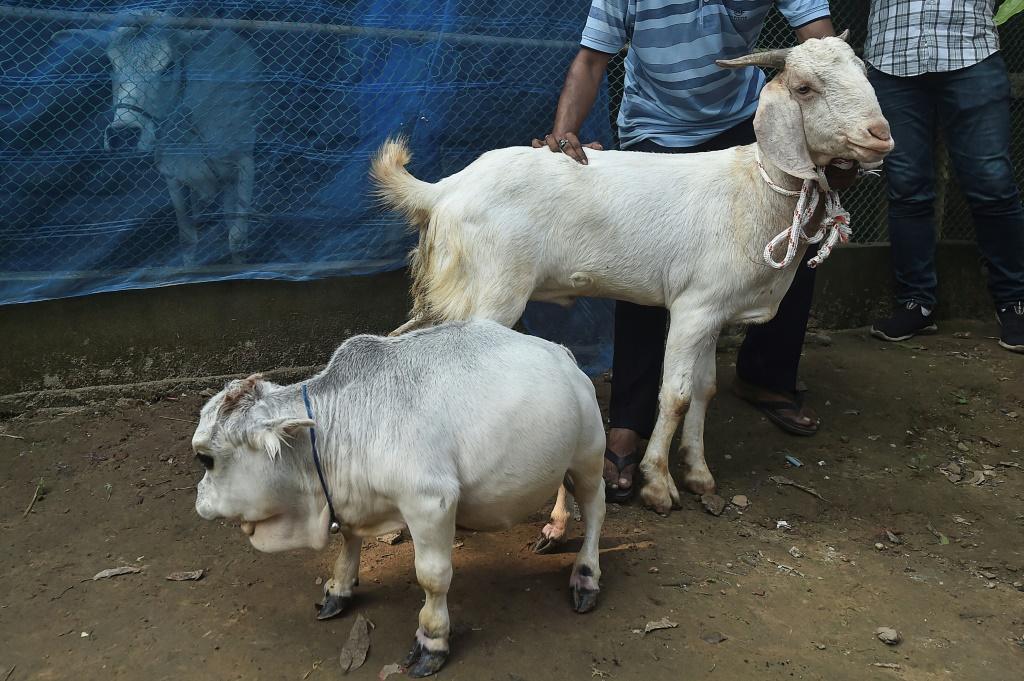 Dwarf-Cow