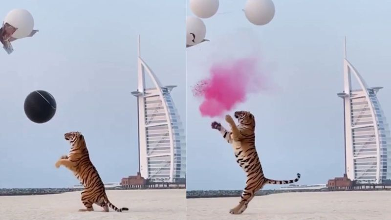 Dubai Couple Has Extravagant Gender Reveal Party – Unleashes Massive Tiger to Spark Outrage