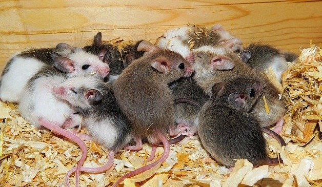 Mice Plague: Australia Battles Rats Infestation With the help of Banned Indian Poison