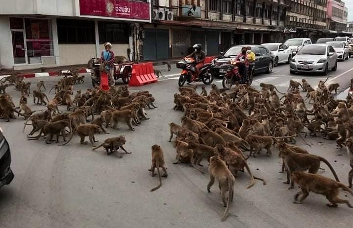 Monkey Gang War: Rival Gangs of Monkeys Clash on Thailand Road, Traffic Halts