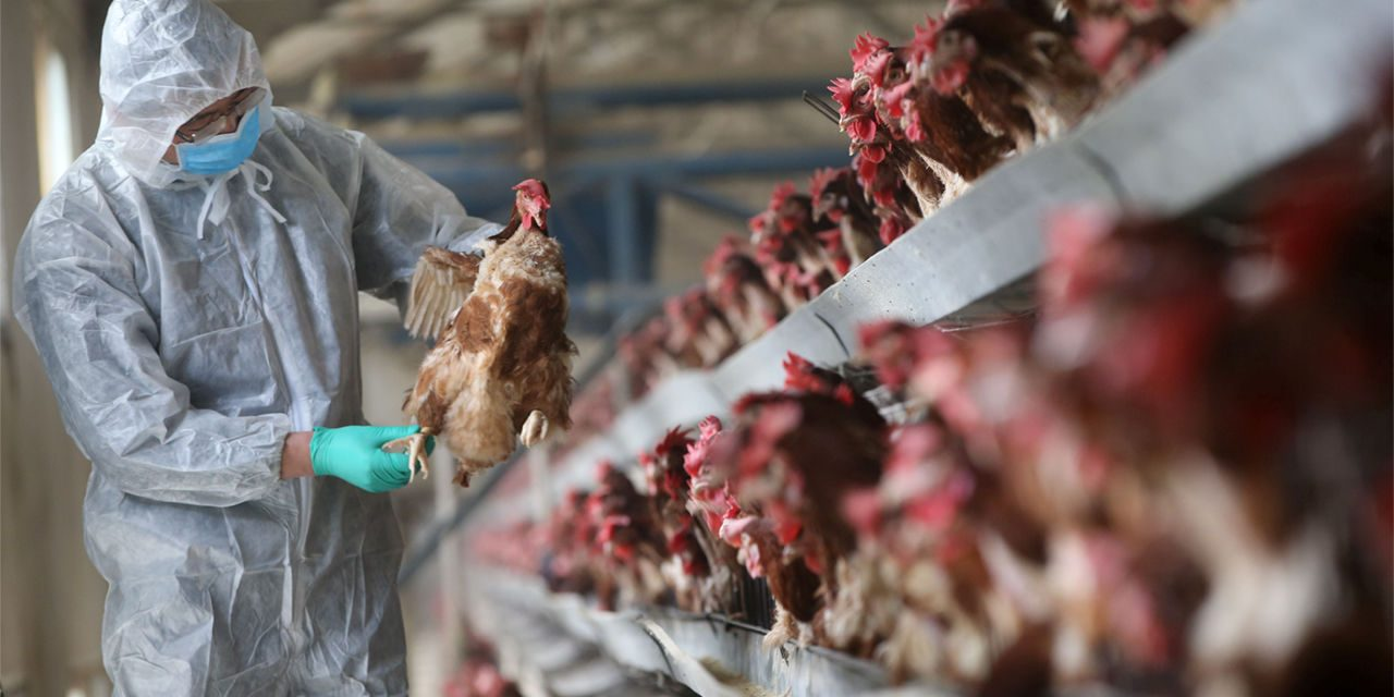 Russia reports first case of H5N8 bird flu passed to humans; World Health Organization alerted