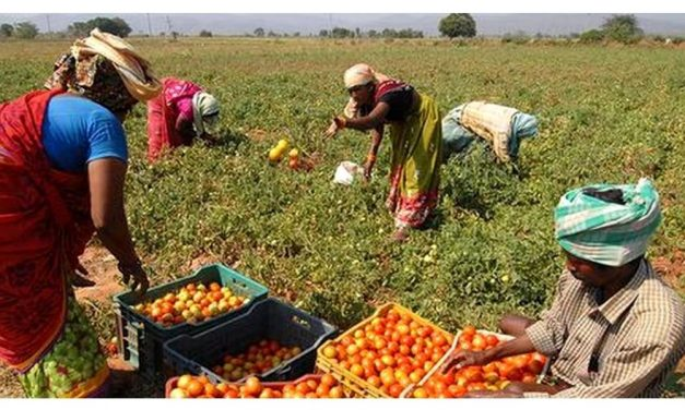 Tomato prices fall to 30-70 paise/kg in wholesale market
