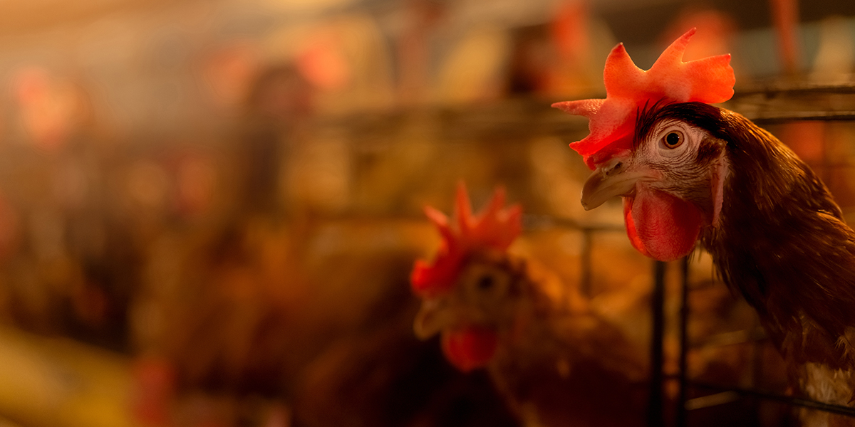 All you need to know about bird flu, its symptom and treatment