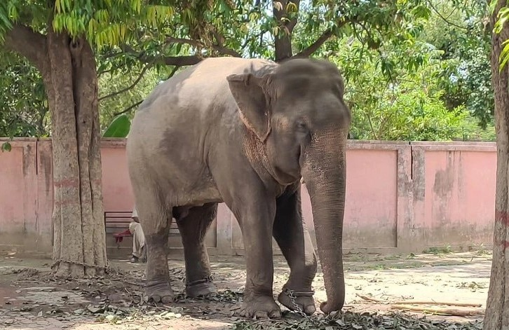 Shocker: Varanasi elephant 'Mittu' to be released on parole; Was charged for murder under IPC 302