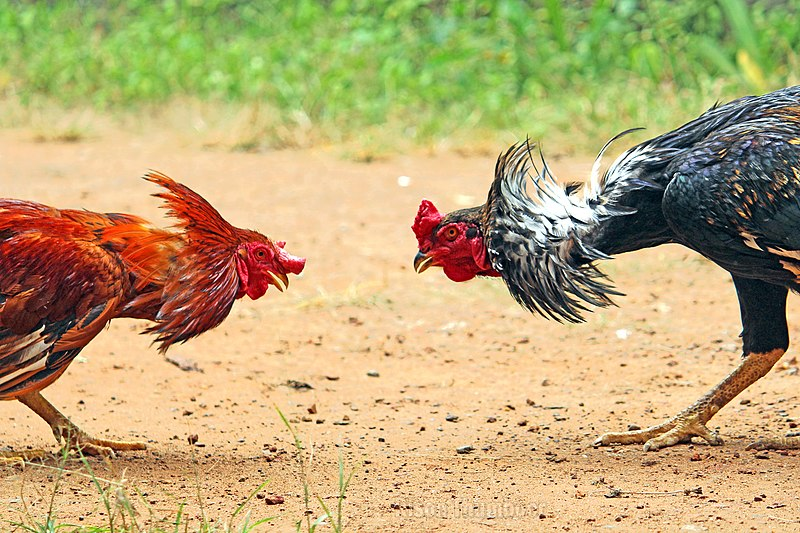 An Illegal Bird Fight, a Dead Boss, and a Rooster on Trial