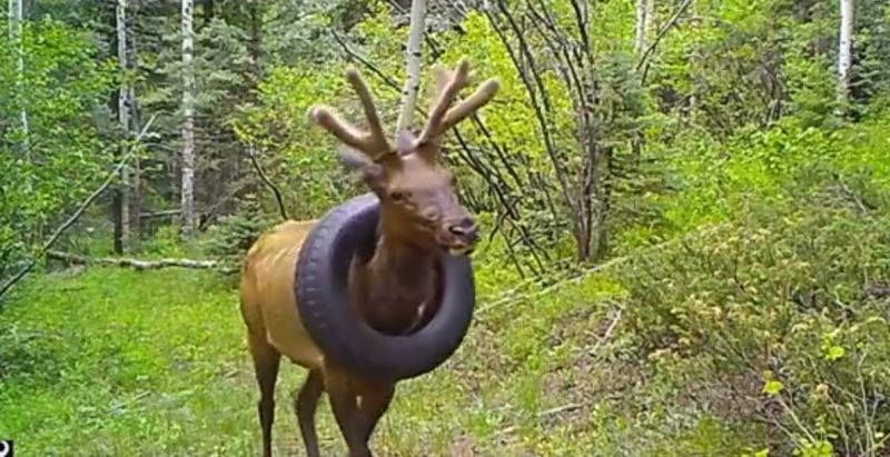 Free Finally! Elk Who Had a Tire Stuck Around Neck for 2 Years Freed at Last