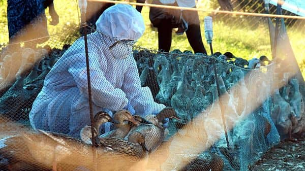 Bird flu: Birds found dead in Gujarat, UP, Haryana, Punjab and Odisha